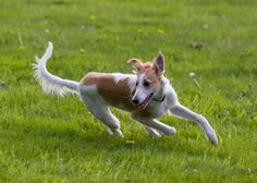 silken windhound photo | Running Silken Windhound Photo 3294×2353 #194037 HD Wallpaper Res ...