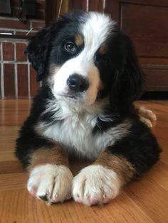 34 Of The Cutest Animal Pictures That Will Melt Even Stone Cold Heart - JustViral. Bermese Mountain Dog, Mountain Dogs, Really Cute Dogs, I Love Dogs, Cute Baby Animals, Animals And Pets, Entlebucher, Cute Dogs And Puppies, Doggies