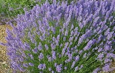 Lullaby Blue A perfect lavender with a proper blue hue to the sweetly fragrant flowers when they're in full bloom. Grey-green foliage. Height 60cm (24in). NZ selection. UK introduction by Downderry 2011. Size: 9cm pot.  (Very hardy lavender  angustifolia) EG