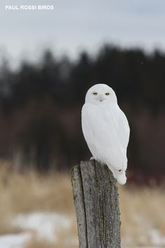 Male Snowy Owl on Post Photo by Bird Photography by Paul Beautiful Birds, Animals Beautiful, Cute Animals, Owl Pictures, Pictures To Draw, Exotic Birds, Colorful Birds, Owl Bird, Pet Birds