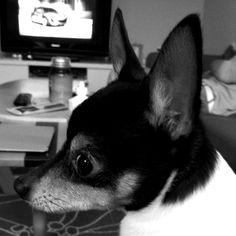.toy Fox Terrier