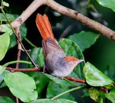 The chestnut-capped flycatcher (Erythrocercus mccallii)