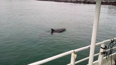 Dusty loves to swim along with our ferries.  It's great exercise and fun for her!