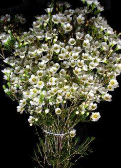 Waxflower is my favorite filler in arrangements/bouquets. Smells sweet.