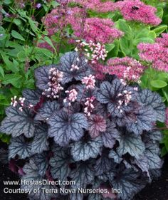 mini heuchera frost. Tuck some more along edges of front garden. Fill in spaces in perennial garden.