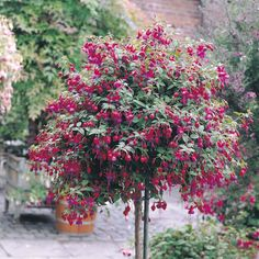 Fuchsia Tree. I sold one in all cherry red yesterday and I really want to do this myself with a baby fuchsia bush.