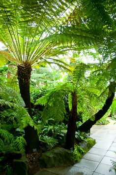 tropical garden dicksonia antarctica (australian tree fern) I want some of these! Tropical Garden Design, Tropical Landscaping, Tropical Plants, Tropical Gardens, Landscaping Trees, Country Landscaping, Australian Tree Fern, Australian Native Garden, Jungle Gardens