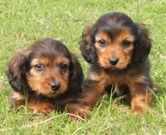 longhaired dachshund puppies