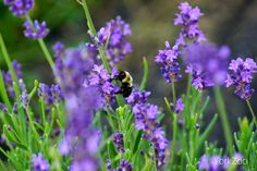 York Zoo-How May I Help You? Bumblebee pollinating one of our lavender plants.