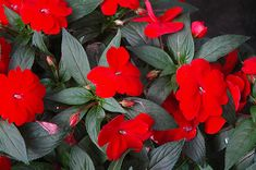 red new guinea impatiens super sonic series - Google Search Hanging Basket