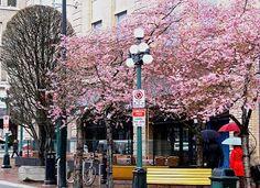 Cherry blossoms in Victoria BC