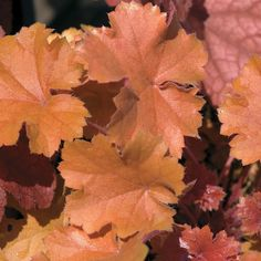 Christa is an exciting new Heuchera with peach-colored foliage and improved tolerance of heat and humidity. Ferns Garden, Sun Garden, Shade Garden, Shade Flowers, Tiny Flowers, Shade Plants, Coral Bells Plant, Coral Bells Heuchera, Lilac Tree