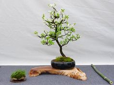 Prunus spinosa, Schlehdorn, Bonsai