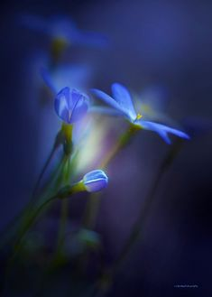 Delicate flowers in the most beautiful blue color; reminds me of a magical place with fairies that will take all your worries away Beautiful Flowers, Beautiful Pictures, Love Blue, Belle Photo, Shades Of Blue, Bokeh, Favorite Color, Photography, Inspiration