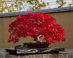 Resultado de imagem para red maple bonsai tree