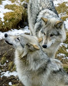 Brother and Sister Wolves by Larry Gambon