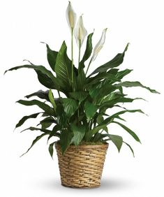 Peace Lily: Give peace a chance! Also known as the Peace Lily, the spathiphyllum plant enchants everyone with its glossy, graceful leaves. Peace Lily Indoor, Peace Lily Plant, Sympathy Plants, Sympathy Flowers, Plant Delivery, Flower Delivery, Fast Flowers, Saintpaulia, Blooming Plants