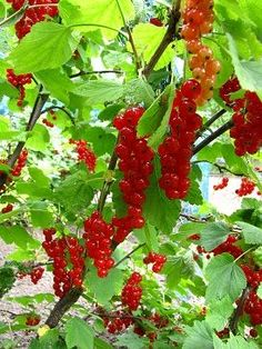 never realized they were called red currents in the States.but they are not even eaten as fruit.how sad! Plants, Veg Garden, Cottage Garden, Urban Garden, Food Garden, Garden Inspiration, Flowers Nature, Next Garden, Trees To Plant