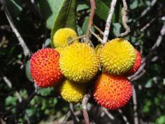 Die Früchte des Erdbeerbaums kann man essen. Sie schmecken süss-mehlig. Fb Like, Looking Forward To Seeing You, Tropical Fruits, Handicraft, Planting Flowers, Portugal, Stuffed Mushrooms, Natural, Plants