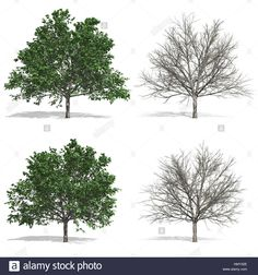 Stock Photo - Elm trees, isolated on white background Dogwood Trees, Pear Trees, Elm Tree, Pop Up, Stock Photos, Illustration, Plants, Outdoor