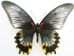 Papilio Butterfly (Memnon Babimemnon Female Species, Babi Island, Indonesia Insect Collection)