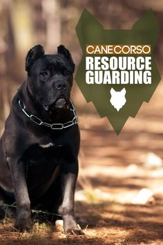 Resource Guarding happens when a dogs behaviour is off, such as growling or biting. This can happen in any breed but today we discuss what happens and what to do with your Cane Corso. Best Guard Dog Breeds, Best Guard Dogs, Giant Dog Breeds, Giant Dogs, Large Dog Breeds, Large Dogs, Cane Corso Dog Breed, Mastiff Dog Breeds, Dog Breed Info