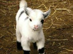 Pygmy goat are the cutest things in the world. I'm getting one asap! Cute Funny Animals, Cute Baby Animals, Farm Animals, Animals And Pets, Pigmy Goats, Cute Goats, Mini Goats, Baby Goats, Baby Pygmy Goats