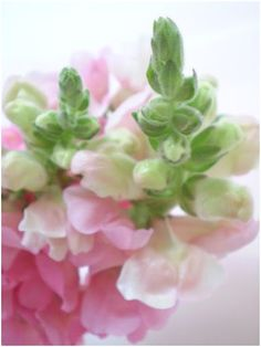 Antirrhinum 'Sonnet Pink' bears soft pink flowers on 2-foot-tall plants.  Light:Sun,Part SunPlant Type:AnnualPlant Height:1-4 feet tallPlant Width:6-12 inches wideFlower Color:Red, pink, yellow, orange, or white flowersBloom Time:Blooms from spring to fallLandscape Uses:Containers,Beds & BordersSpecial Features:Flowers,Cut Flowers,Easy to Grow