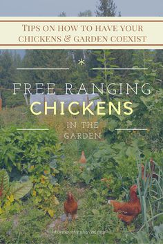 Some Great Tips on Free-Ranging Chickens in the Garden