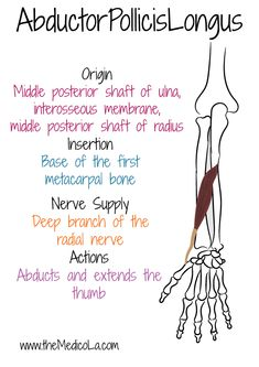 All Upper Limb Muscles Notes & Drawings Human Muscle Anatomy, Human Anatomy And Physiology, Body Anatomy, Hand Anatomy, Muscles Of Upper Limb, Bones And Muscles, Physical Therapy Humor, Upper Limb Anatomy, Mega Series