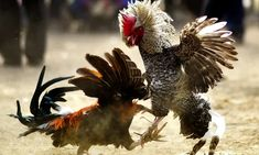 Rooster fitted with blade for cockfight kills its owner in India | India | The Guardian The Guardian, Blade, Rooster, India India, Fitness, Animals, Discord, 21st Century, Asia