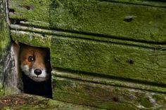 北欧 廃屋の動物たち | ナショナル ジオグラフィック(NATIONAL GEOGRAPHIC) 日本版公式サイト