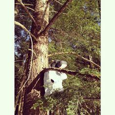 Harvey spent some quality time climbing a hemlock tree this afternoon here at Sky Lake. #lentoutside #skylake14