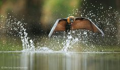 Fly-by drinking - Ofer Levy - Wildlife Photographer of the Year 2012 : Gerald Durrell Award for Endangered Species - Specially Commended