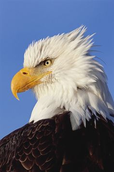 Bald Eagle, Looks like a real life Philadelphia Eagles Logo Love Birds, Beautiful Birds, Animals Beautiful, Cute Animals, Eagle Pictures, Animal Pictures, Eagle Images, All Gods Creatures, Birds Of Prey