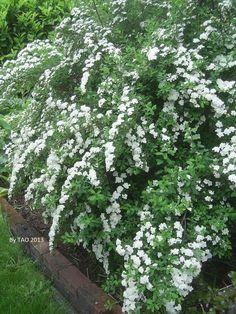 flowering white spirea