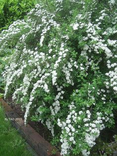 flowering white spirea