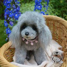 Poodle Silver