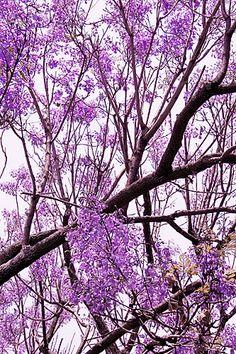 Flowers. El color purpura inundaba las calles de Polanco en México DF, en la gran urbe de concreto aun existen espacios donde las flores y los arboles se abren paso. 2009.