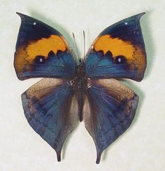 Purple Orange Oak Leaf Kallima inachus / 蝶 チョウ Butterfly Pictures, Butterfly Frame, Butterfly Flowers, Butterfly Design, Butterfly Wings, Flying Insects, Bugs And Insects, Beautiful Bugs, Beautiful Butterflies