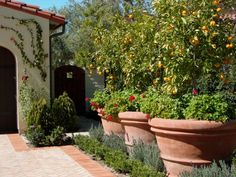 Potted fruit trees on patio? AMS Landscape Design Studios, Inc. Potted Fruit Trees, Citrus Trees, Orange Trees, Potted Plants, Plant Pots, Potted Trees Patio, Planting Plants, Fruit Plants, Fall Plants