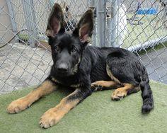 Kilo and his adorable german shepherd puppy ears!