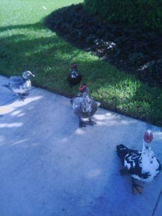 The ducks posed for my camera in Weston, Florida