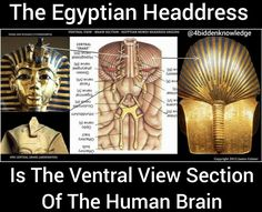 The Egyptian Headdress Is The Ventral View Of The Human Brain