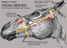 Facial nerves of horse good to consider when fitting bridles/bits/headcollars