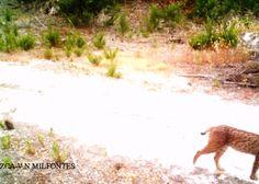 Lynx pardinus (this one is named Hongo), 26 Jun 2013, near Vila Nova de Milfontes, Portugal, image by camera trap