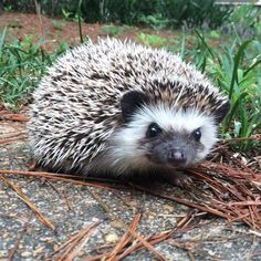 Tranquill Hedgies is a USDA licensed breeder of African Pygmy Hedgehogs in Tuscaloosa AL with transport available nationwide! Pygmy Hedgehog, A Hedgehog, Cute Baby Animals, Animals And Pets, Hedgehog For Sale, Cute Babies, Creatures, African, Drawings