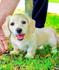 Dachshund Puppies For Sale, Mini Dachshund, Cute Puppies, Cute Puppy Photos, Cute Animals, Dogs, Club, American, Doggies