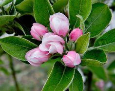 Malus comunis (flor de manzano)