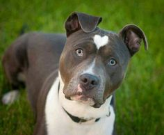 Pit bull with heart spot